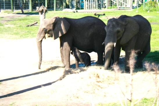 Mavi, female elephant calf, born July 29, 2013.