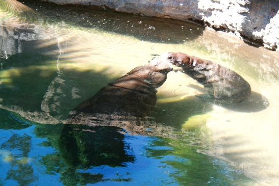 Photos by Jessica Bartels Zola, pygmy hippo calf, born November 15, 2012.
